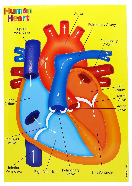AP 40022 HUMAN HEART FOAM PUZZLE
