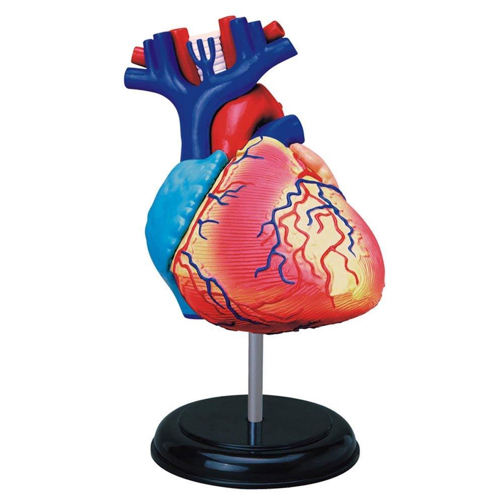 4D HUMAN HEART