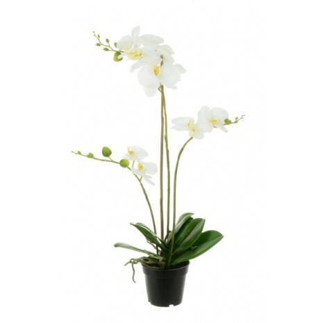 Phalaenopsis in Black Pot