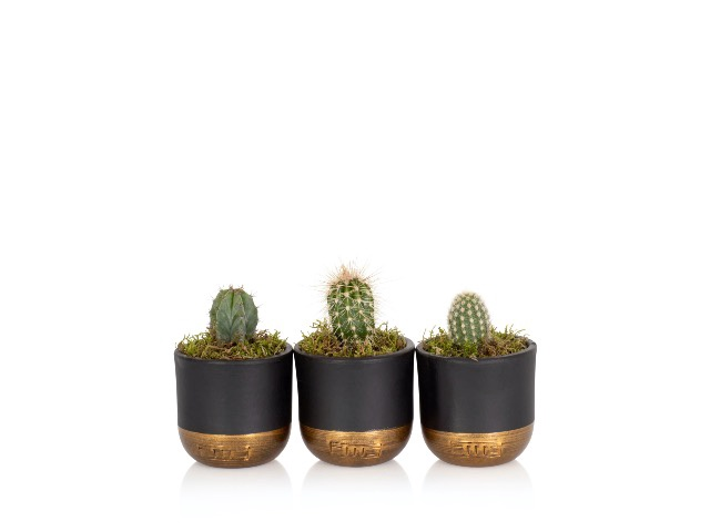 Little Botanical Mini Cactus Black and Gold