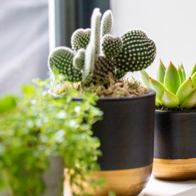 Little Botanical Medium Cactus black and gold