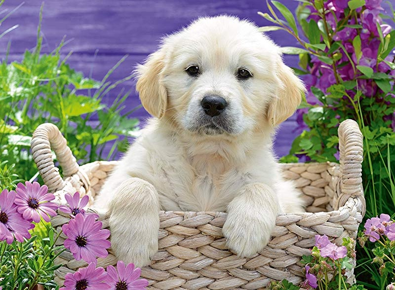 GOLDEN RETRIEVER PUZZLE 500 PCS