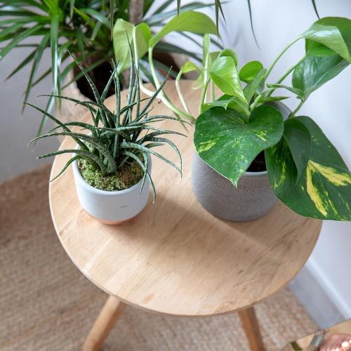 Little Botanical Devils Ivy Grey Houseplant pot