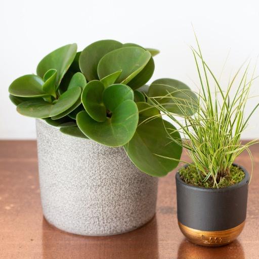 Little Botanical Peperomia Obtusifolia Grey Houseplant pot