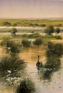 Wetland Study with black swan