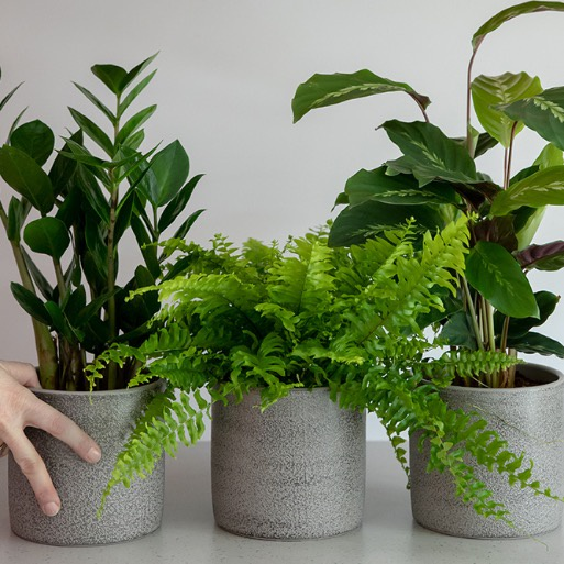 Little Botanical Boston Fern Grey Houseplant pot